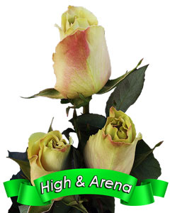 Roses High & Arena