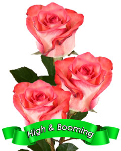 Roses High & Booming