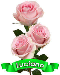 Roses Luciano