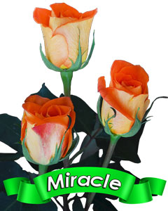 Roses Miracle